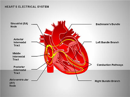 Free Heart's Electrical System, 00146, Medical Diagrams and Charts — PoweredTemplate.com