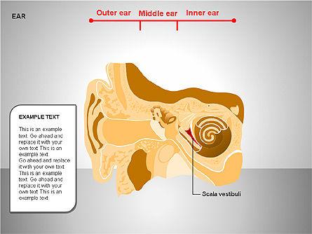 Human Ear Diagram Slide 10
