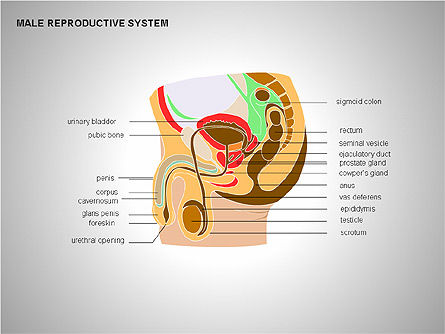 Medical Diagrams and Charts: Male Reproductive System #00204
