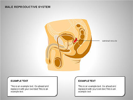 Male Reproductive System, Slide 11, 00204, Medical Diagrams and Charts — PoweredTemplate.com