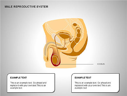 Male Reproductive System, Slide 18, 00204, Medical Diagrams and Charts — PoweredTemplate.com