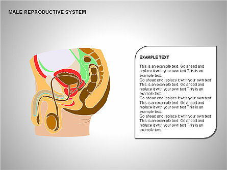 Male Reproductive System, Slide 19, 00204, Medical Diagrams and Charts — PoweredTemplate.com
