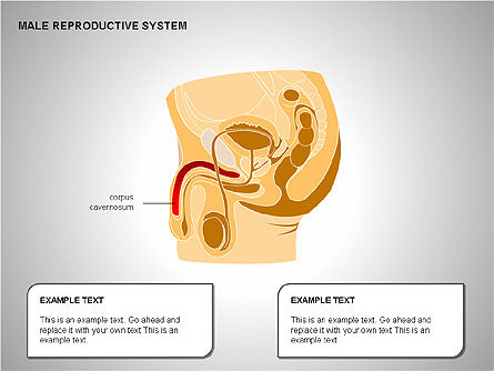 Male Reproductive System, Slide 5, 00204, Medical Diagrams and Charts — PoweredTemplate.com