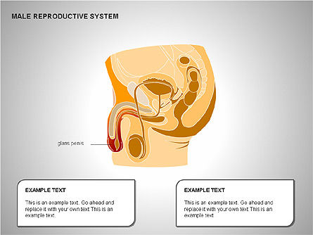 Male Reproductive System, Slide 6, 00204, Medical Diagrams and Charts — PoweredTemplate.com