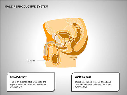 Male Reproductive System, Slide 7, 00204, Medical Diagrams and Charts — PoweredTemplate.com