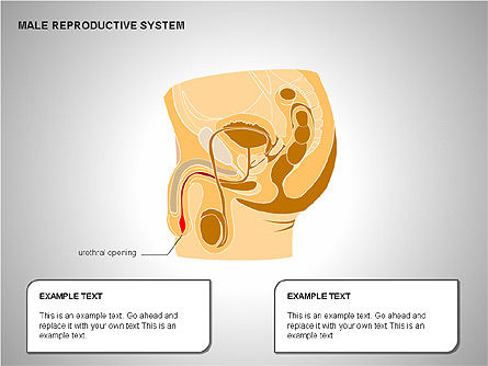 Male Reproductive System, Slide 8, 00204, Medical Diagrams and Charts — PoweredTemplate.com
