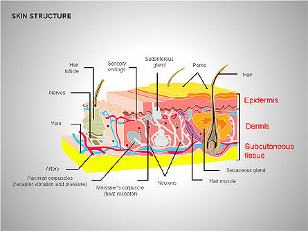 Medical Diagrams and Charts: Skin Structure Diagrams #00210