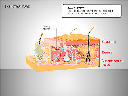 Skin Structure Diagrams Slide 2