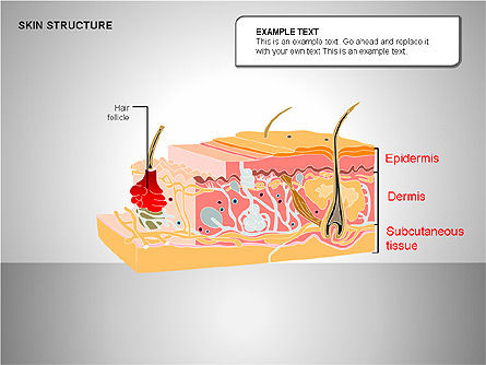 Skin Structure Diagrams Slide 3