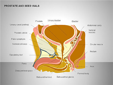 Prostate and Seminal Vesicles Diagram, 00222, Medical Diagrams and Charts — PoweredTemplate.com