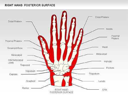 Right Hand Diagram, 00552, Medical Diagrams and Charts — PoweredTemplate.com