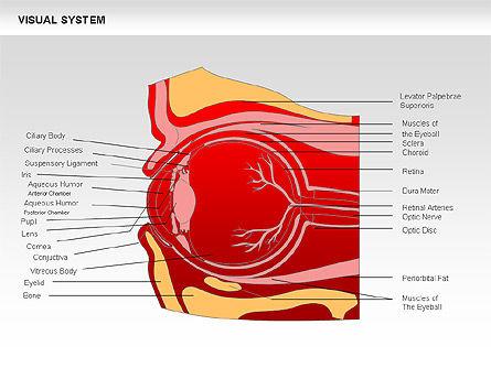 Medical Diagrams and Charts: 인간 시각 시스템 다이어그램 #00578