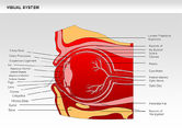 Medical Diagrams and Charts: Human Visual System Diagram #00578