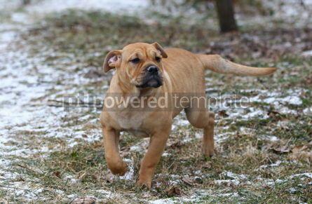 Animals: Ca de Bou (Mallorquin Mastiff) puppy dog #02554