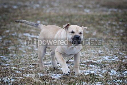 Animals: Ca de Bou (Mallorquin Mastiff) puppy dog #02555
