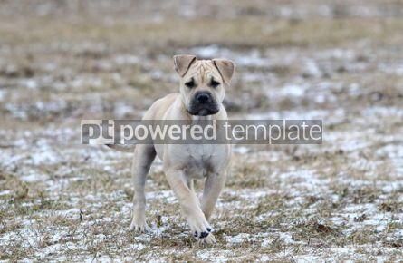 Animals: Ca de Bou (Mallorquin Mastiff) puppy dog #02557