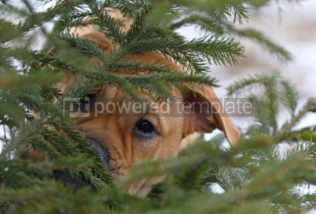 Animals: Ca de Bou (Mallorquin Mastiff) puppy dog #02558