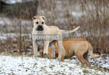 Animals: Ca de Bou (Mallorquin Mastiff) puppy dogs #02559