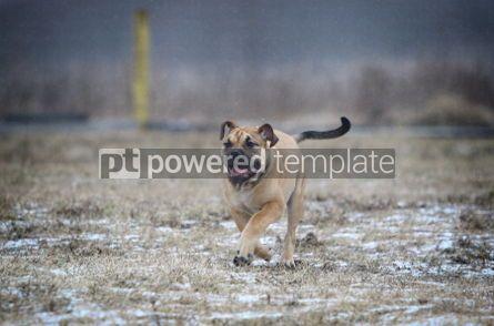 Animals: Ca de Bou (Mallorquin Mastiff) puppy dog #02560