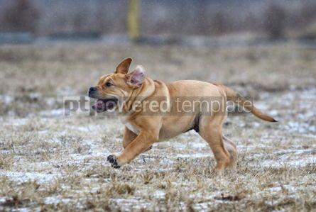 Animals: Ca de Bou (Mallorquin Mastiff) puppy dog #02561