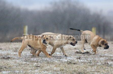 Animals: Ca de Bou (Mallorquin Mastiff) puppy dogs #02562