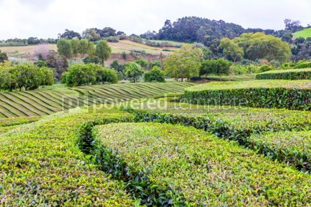 Nature: Tea plantations on Sao Miguel island Azores Portugal #02565