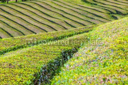 Nature: Tea plantations on Sao Miguel island Azores Portugal #02566