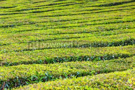 Nature: Tea plantations on Sao Miguel island Azores Portugal #02567