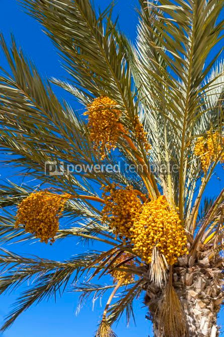 Nature: Branches of dates palm with fresh dates on it #02823