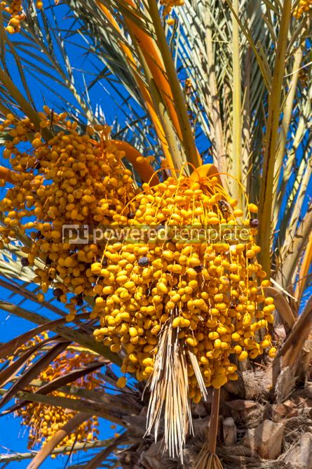 Nature: Branches of dates palm with fresh dates on it #02824