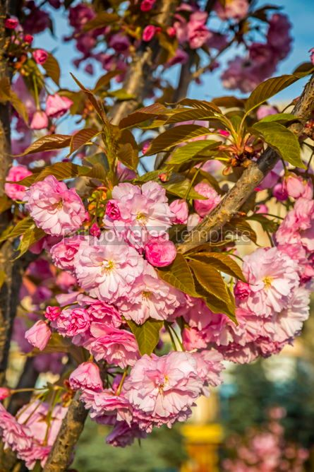 Nature: Branch of blossoming pink sakura tree #02965