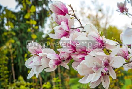 Nature: Pink magnolia flowers in the garden #02966