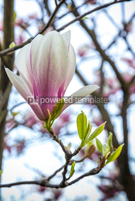 Nature: Pink magnolia flower in the garden #02967