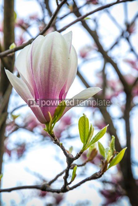 Nature: Pink magnolia flower in the garden #02967