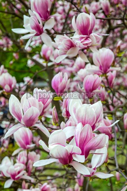 Nature: Pink magnolia flowers in the garden #02968