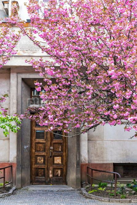 Nature: Blossoming pink sakura tree on the streets of Uzhgorod Ukraine #02969