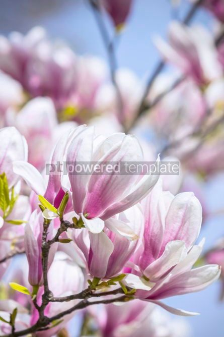 Nature: Pink magnolia flowers in the garden #02970