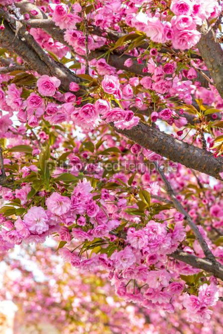 Nature: Branch of blossoming pink sakura tree #03003