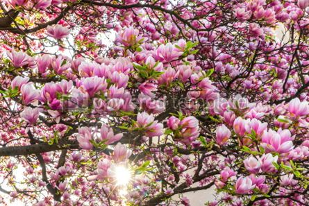 Nature: Pink magnolia flowers in the garden #03004