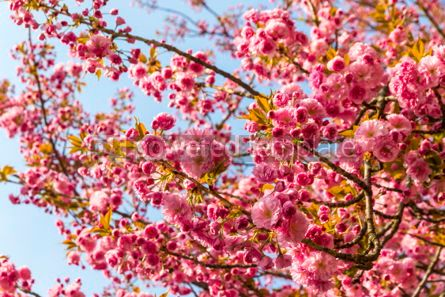 Nature: Branch of blossoming pink sakura tree #03005