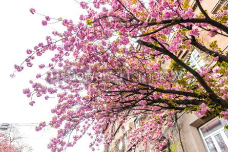 Nature: Branch of blossoming pink sakura tree #03006
