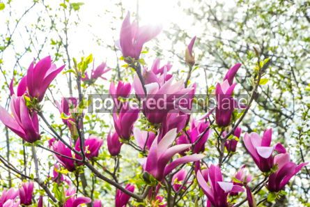 Nature: Pink magnolia flowers in the garden #03007