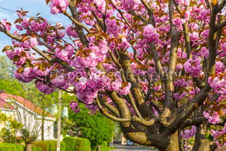 Nature: Branch of blossoming pink sakura tree #03009