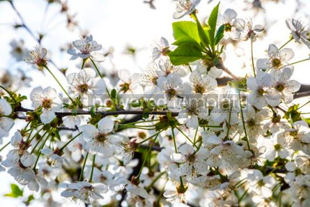 Nature: Branch of blossoming cherry tree #03012