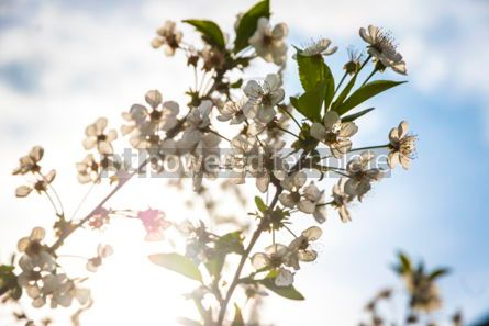 Nature: Branch of blossoming cherry tree #03013