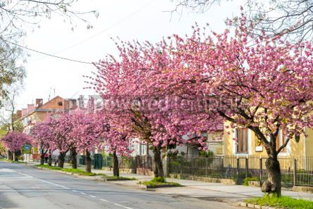Nature: Street with blossoming pink cherry trees in Uzhhorod Ukraine #03014