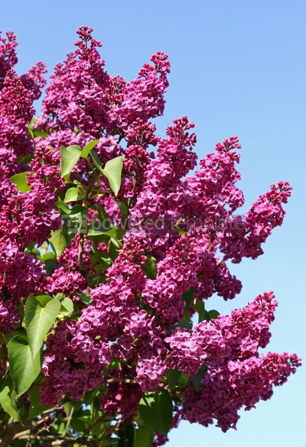 Nature: Branches of blossoming pink lilac against the blue sky #03015