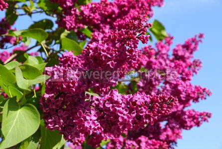 Nature: Branches of blossoming pink lilac against the blue sky #03016