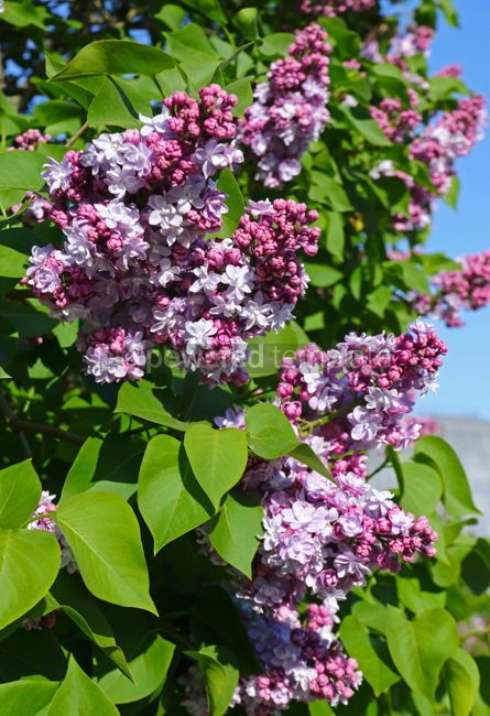 Nature: Branches of blossoming pink lilac against the blue sky #03017