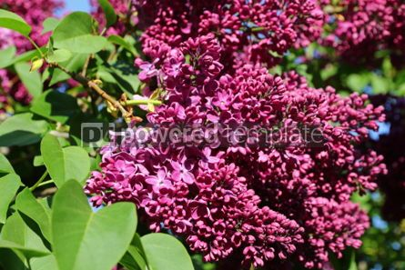 Nature: Branch of blossoming pink lilac in the garden #03018